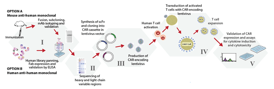 CAR-T cell development process