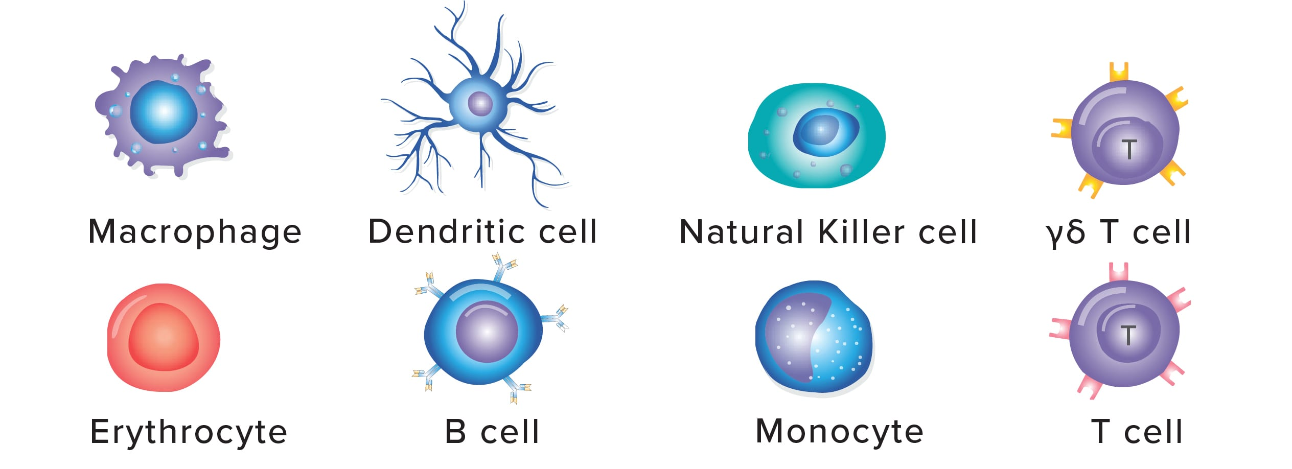 Picture of macrophage, dendritic cell, natural killer cell, gamma delta T cell, erthrocytte, B cell, monocyte, T cell