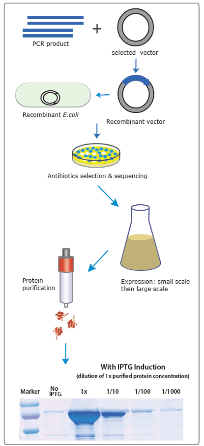 ecoli protein expression process