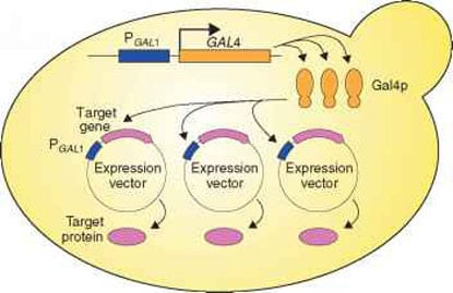 target protein vector expression within the yeast cell