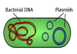 bacterial cell cartoon with dna and plasmids