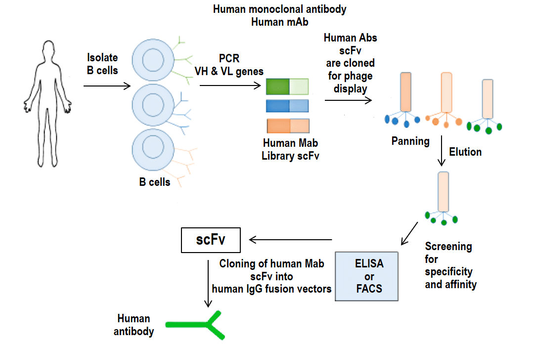 Human monoclonal antibody production process