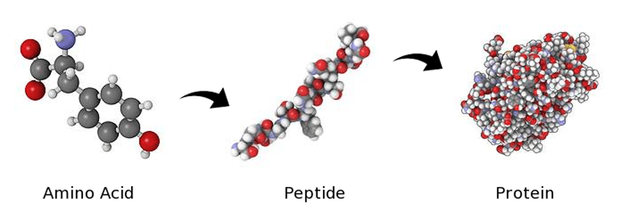 amino acids, peptides and proteins molecular structure