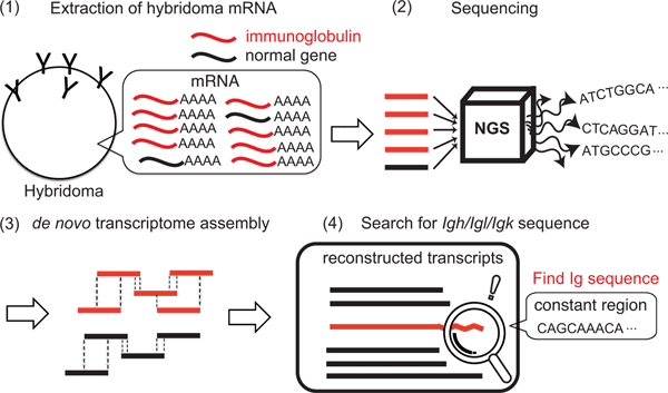hybridoma sequencing process