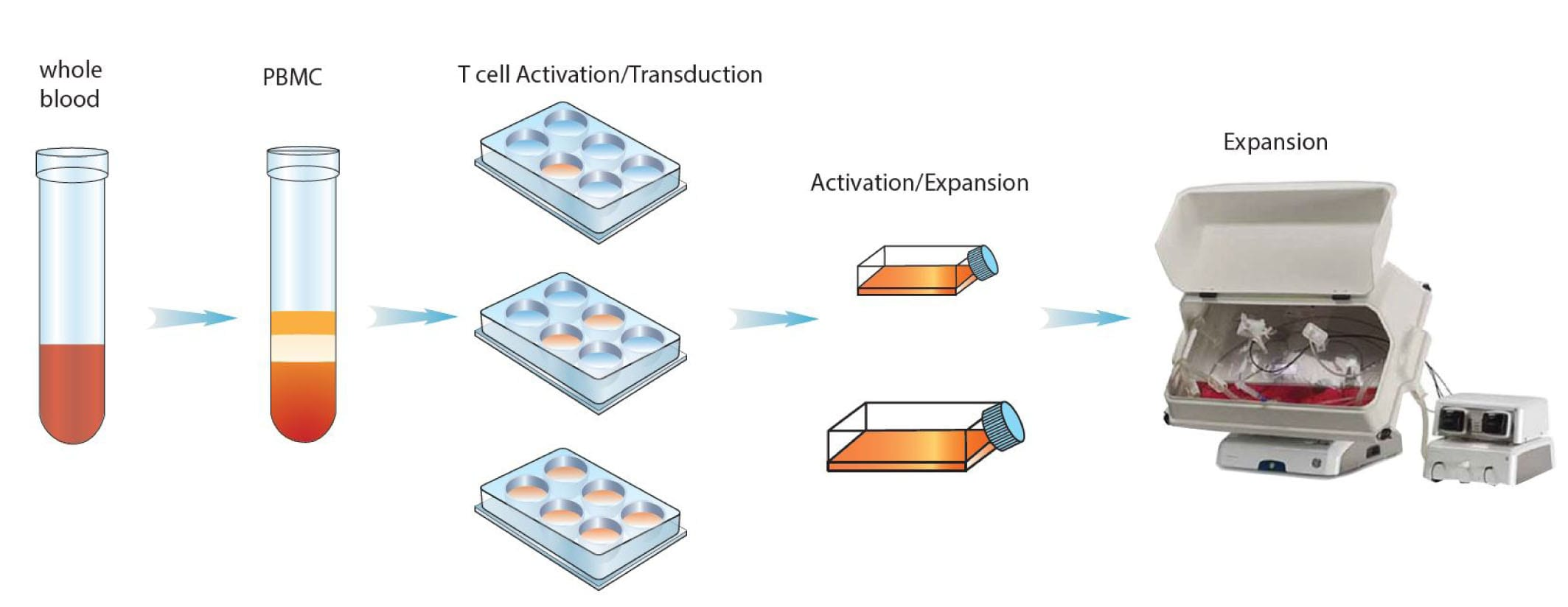 CAR-T cell activation and expansion.