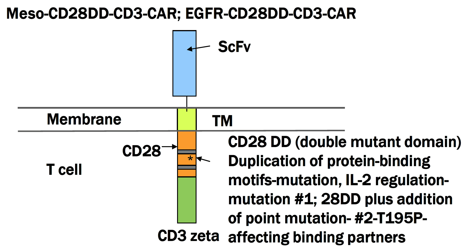 Mesothelin-CD28 double mutated domain CAR-T cell construct