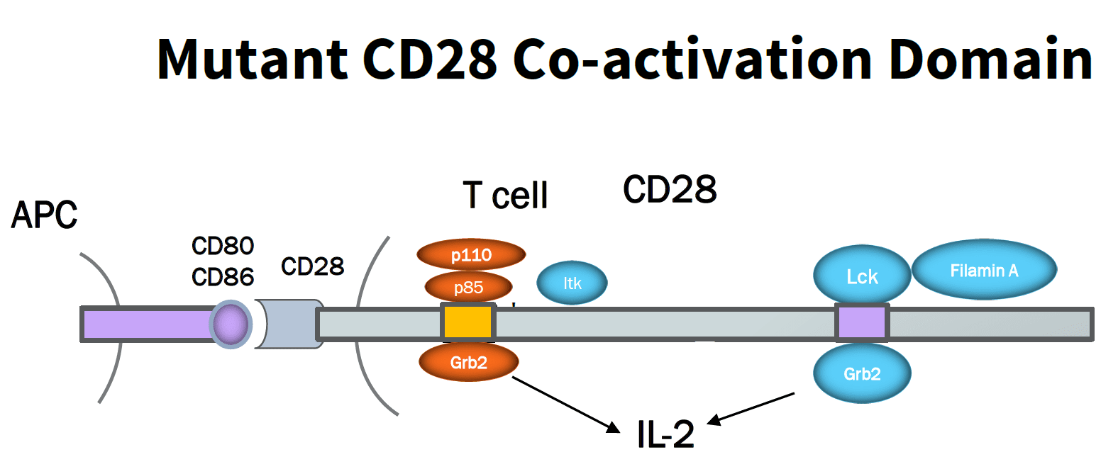 Mutated CD28 co-activation domain incorcoprated in the CAR-T cell design