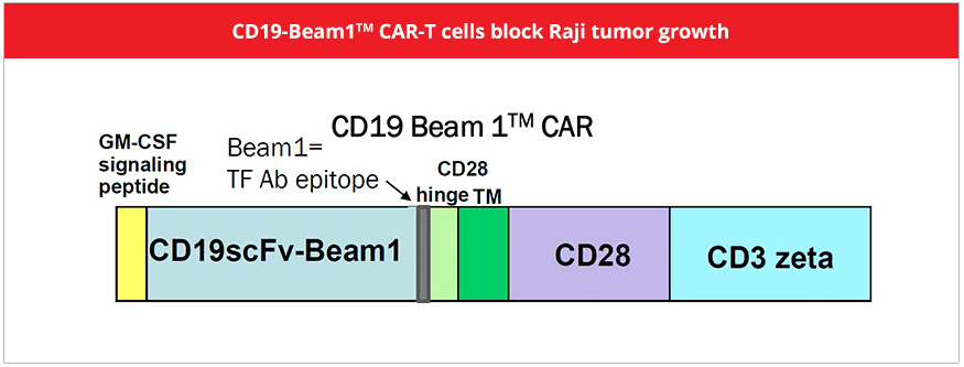 CD19-BEAM CAR-T cell constuct diagram